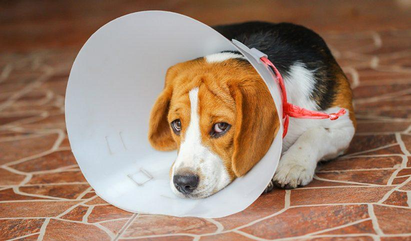 Cuidados postoperatorios para perros