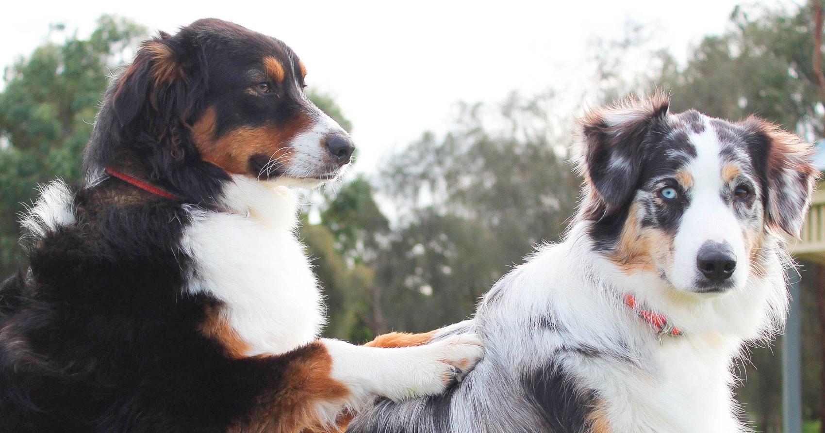 ¿Es malo cruzar perros hermanos?