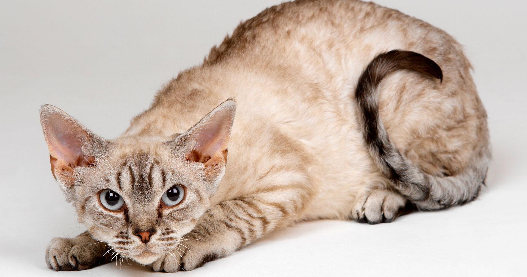 El estrés en los gatos