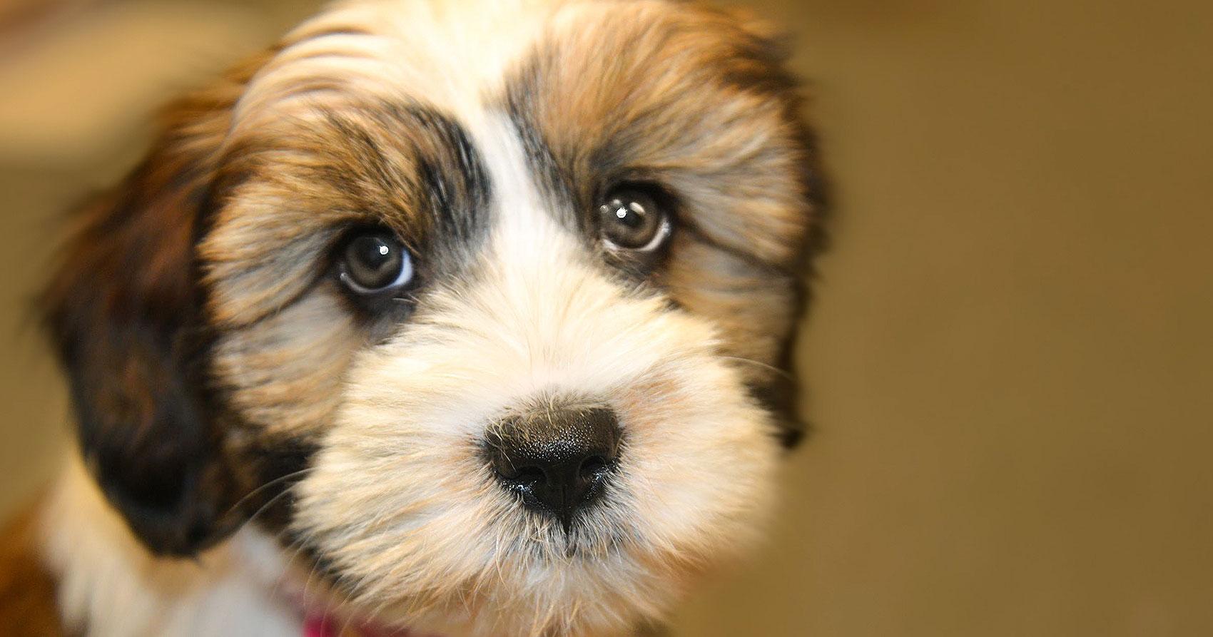 Síntomas de alerta de una emergencia con tu perro