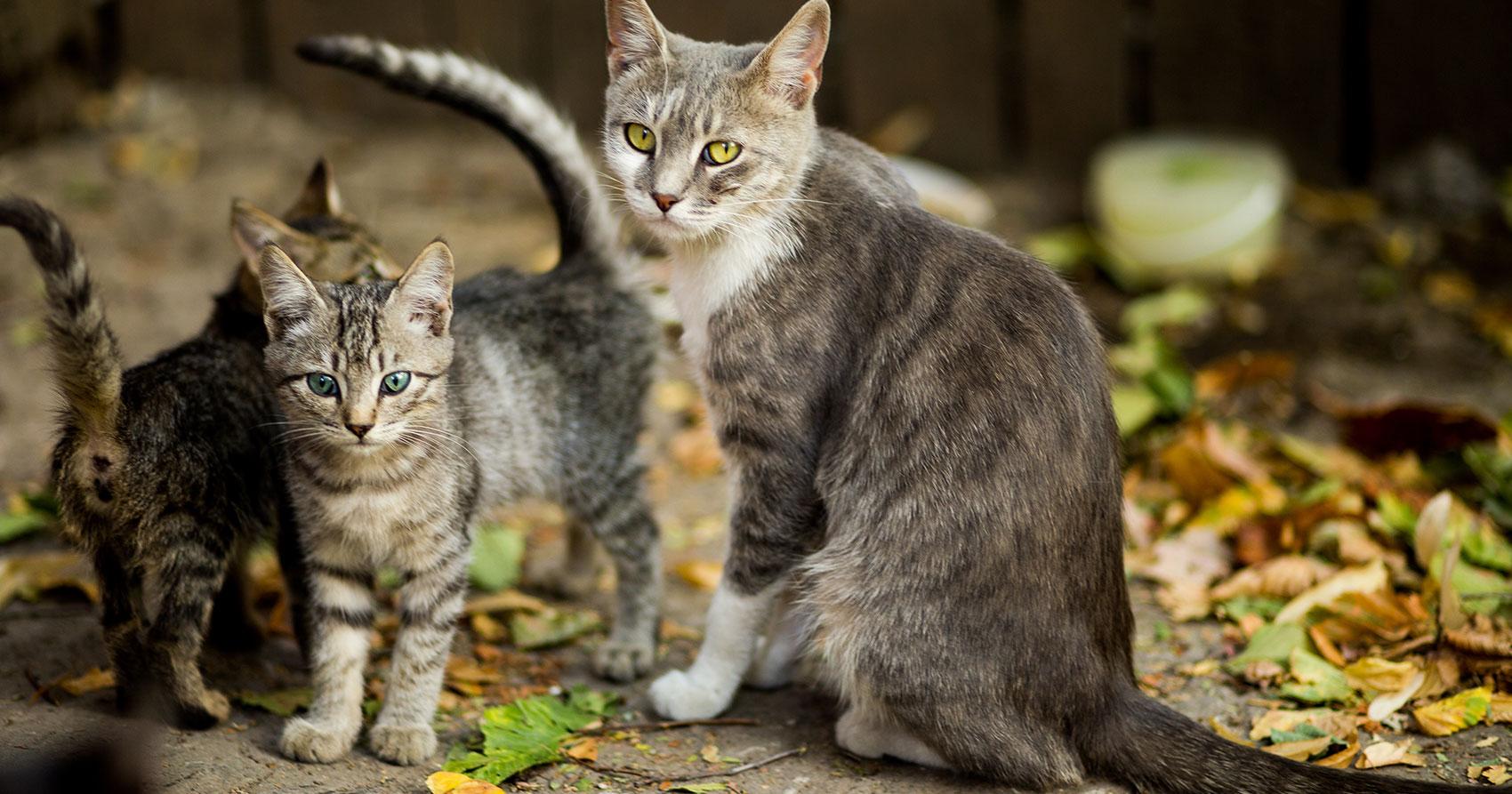 Esterilizar a tu gato ¿Por qué hacerlo?